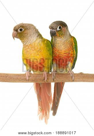 young cockatiel and Green-cheeked parakeet in front of white background