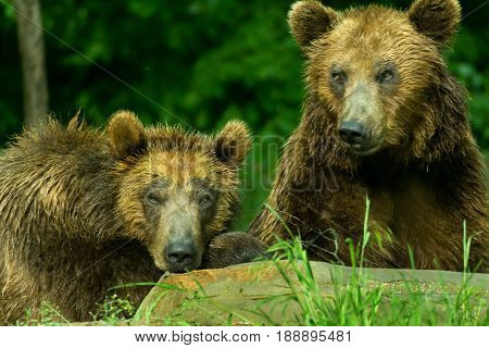 Two brown grizzly bears. Female bear with young bears.