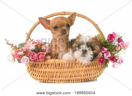 shih tzu and chihuahua puppies in front of white background