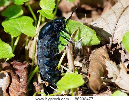 Very large Oil Beetle - Meloe proscarabaeus