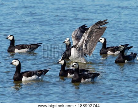 Barnacle Goose at a blue lake - Branta leucopsis