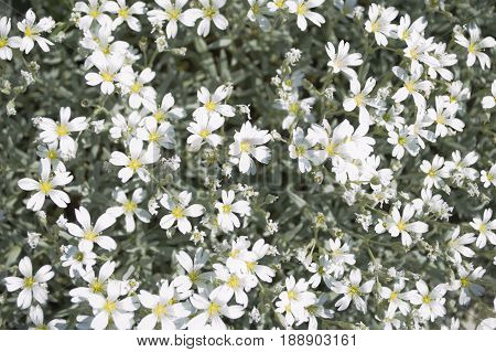 White flowers closup top view in summer.