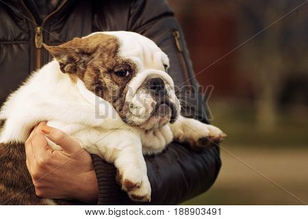 puppy breed English bulldog brindle close-up with fluttering in the wind ears in the hands of a human breed  with a wistful look