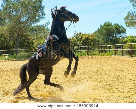 rearing black stallion training in a manege