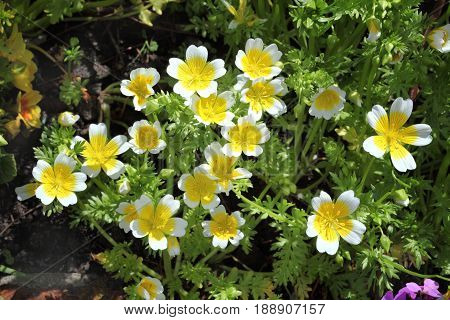Poached egg plant, (Limanthes douglasii)  a common annual garden flower plant growing throughout spring summer and autumn