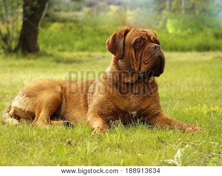 Big Dog - Bordeaux Mastiff
