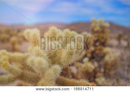 Chollas Cactus Joshua Tree National Park, California