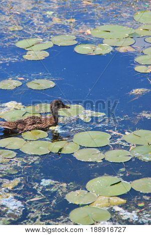 Duck swimming in polluted water with toxic contamination.