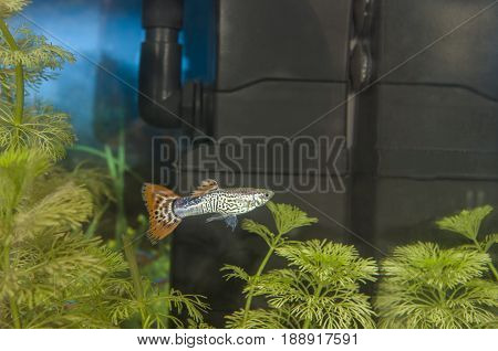 Guppy Fish In A Freshwater Aquarium With Plants. .