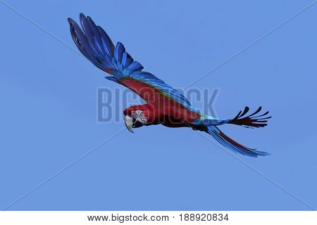 Green-winged macaw in flight with blue skies in the background