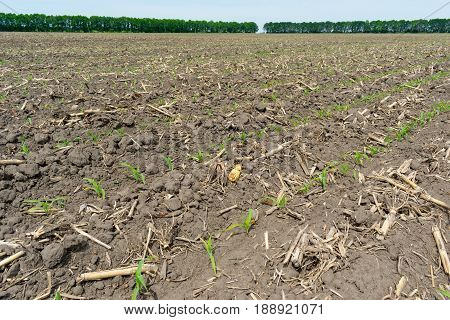 Corn field seeded with no-till technology in early summer