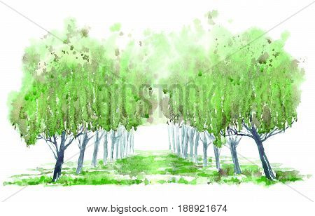 Deciduous tree alley. Spring landscape. Watercolor hand drawn illustration.