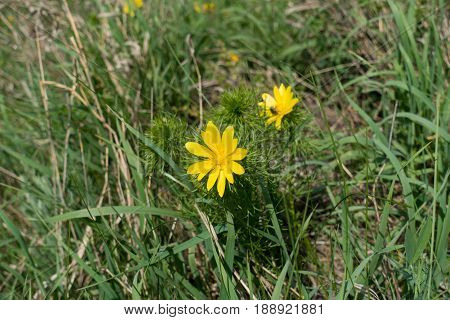 Bright Yellow Flower Of Adonis Vernalis In The Grass