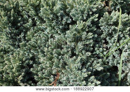 Glaucous Blue Green Needles Of Flaky Juniper