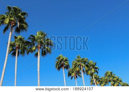 Palm trees pictured at such an angle, that each tree gradually gets smaller as you look across the image from left to right.