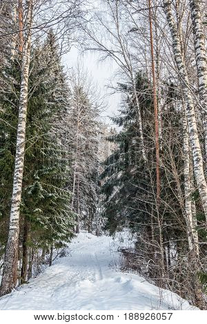 Nature in winter. Winter forest landscape with snow in cold weather Karelia Russia.
