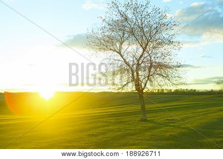 Tree Without Leaves In The Field On Sunrise. Bare Wood
