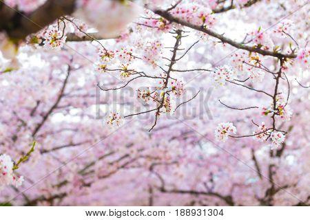 Sakura Cherry Blossom Background