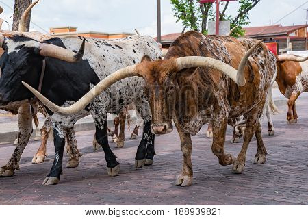 Longhorn Cattle Drive at the stockyards of Fort Worth Texas