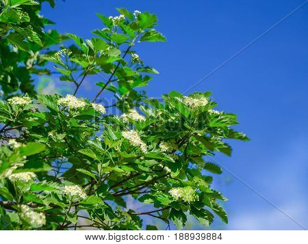 Blossoming of a mountain ash ordinary (Sorbus aucuparia L.) against the blue sky. Foliage and flowers of mountain ash with bee.
