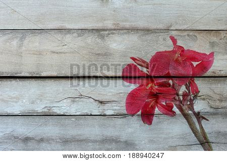 Overlay reddish pink canna lily fower with drop of water on old wood .