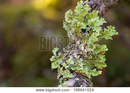 Green leaflike Foliose lichen growing on tree branch in forest at Cradle mountain, Lake St Clair National Park in Tasmania, Australia