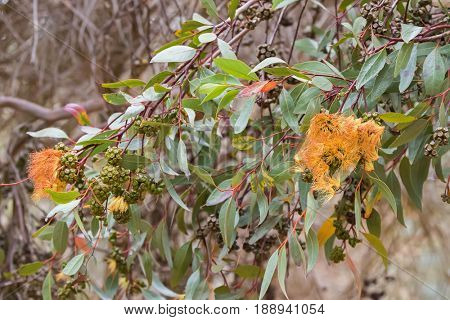 Long green Eucalyptus leaves and gum seeds, flower bud of gum tree during Autumn in Tasmania, Australia