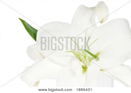 Lily On A White Background