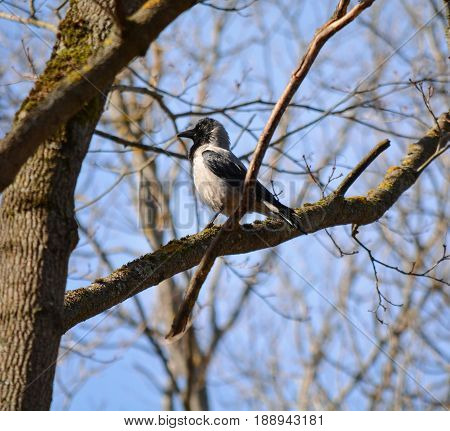 The gray crow is walking along a branch