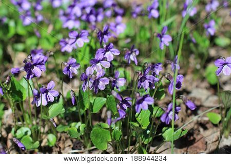 heath dog-violet, violets spring primrose in forest