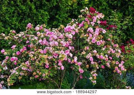 bushes heavily laden with new and old pink flowers