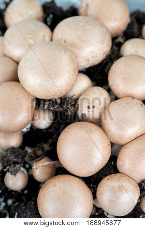 Raw Whole Unpicked Button Mushrooms In Dirt