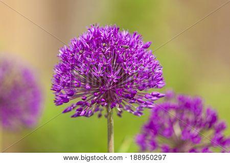 Allium hollandicum or Persian Onion blossoms closeup