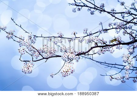 Close up of Bradford Pear tree branch against blue bokeh sky.