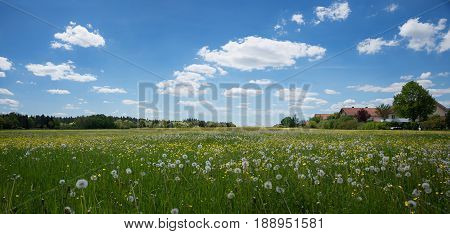 field with dandelion and buttercups at the outskirts of village