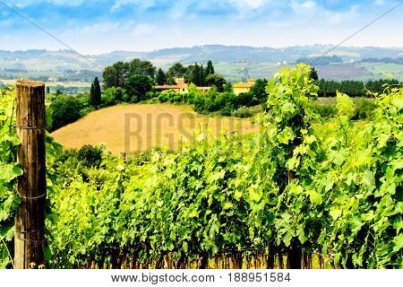 Grape vineyard in the countryside of Tuscany in Italy.