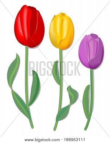 Three vector tulip for spring design in red yellow and pink with fine shadow