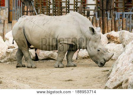 White Rhinoceros In The Zoo