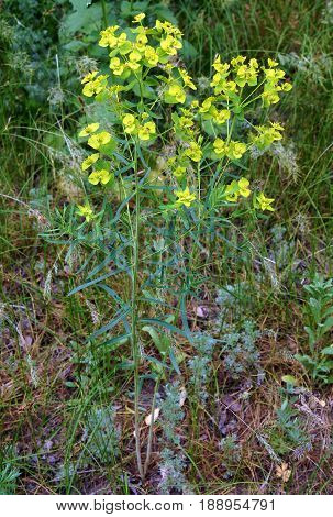 Details of yellow cypress spurge plant (Euphorbia cyparissias) in bloom