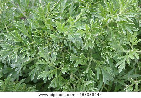 Natural foliage of the common wormwood Artemisia vulgaris as botanic background.
