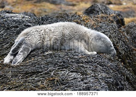 Sweet newborn baby harbor seal on a bed of seaweed.