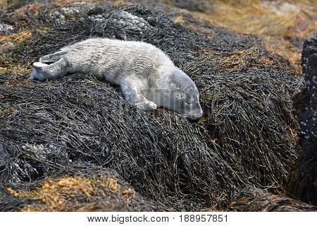 Sweet newborn baby seal sleeping on seaweed in Maine.