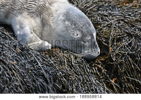 Cute scruffy fluffy gray baby harbor seal on a bed of seaweed.