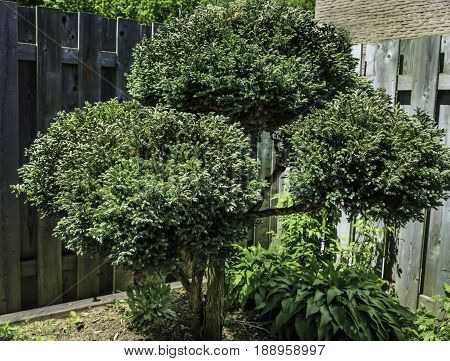 Small ornamental trees are popular with urban dwellers who have limited garden space.