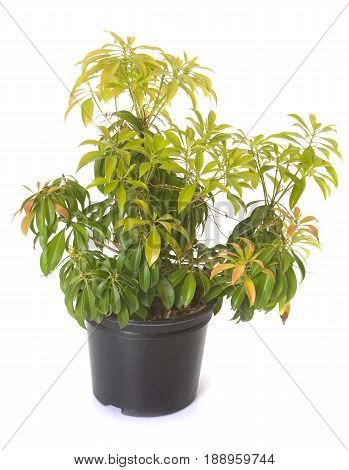 pieris japonica in front of white background