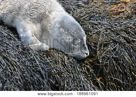 Adorable harbour seal pup resting in Maine on seaweed.