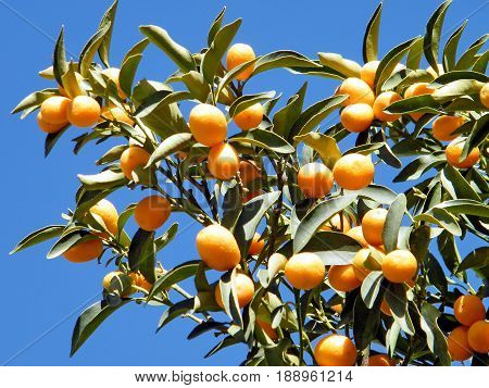 Fortunella margarita fruits on a tree in Or Yehuda Israel December 13 2010
