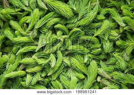 Fresh green spruce shoots. Young shoots of spruce trees in the spring. Nature green background.