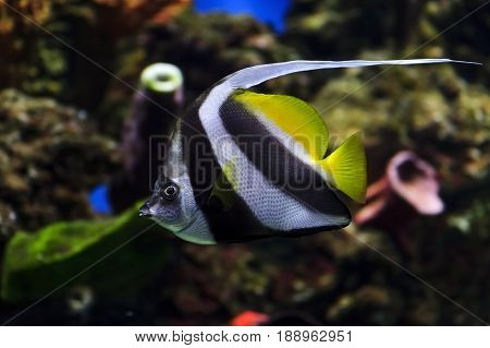 Moorish idol fish with striped pattern on body of yellow, white and black colors swims near stones and colorful corals underwater, diving, Zanclus cornutus, sealife, selective focus