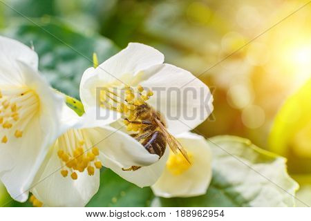 Bee Pollinating Flower.